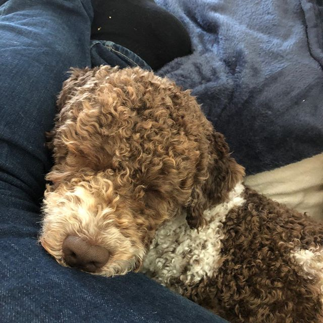 Today I took up all the space I needed for my nap. Dad loves me. Deeply. #lagottoromagnolo #lagotto #dogs #lagottos #lagottosofinstagram #lagottopuppy #lagottolove #lagottostyle #lagottodogs #lagottoromagnolos #dpotd  #lagottoboy #svärdsjö #dalarna #sweden #dog #dogmodel #dogmodels #dogsofinstagram #dogsofinsta  #pappajagvillhaenitalienare #maclagotto @knappare @liminglindblad @k.rowntree @taxen_coco