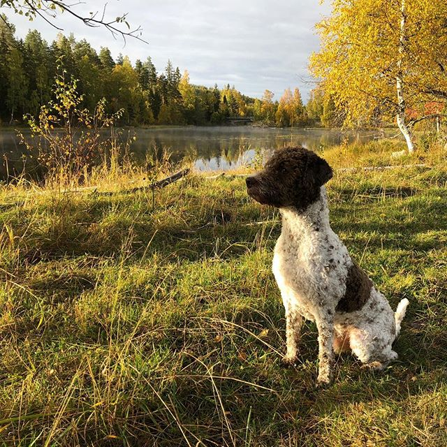 Today's morning walk was amazing. Look at the colors. And look at me! #maclagotto #lagottoromagnolo #lagotto #dogs #lagottos #lagottosofinstagram #lagottopuppy #lagottolove #lagottostyle #lagottodogs #lagottoromagnolos #dpotd  #lagottoboy #svärdsjö #dalarna #sweden #dog #dogmodel #dogmodels #dogsofinstagram #dogsofinsta  #doglovers #daddysdog #dogstagram #pappajagvillhaenitalienare @knappare @liminglindblad @k.rowntree @taxen_coco