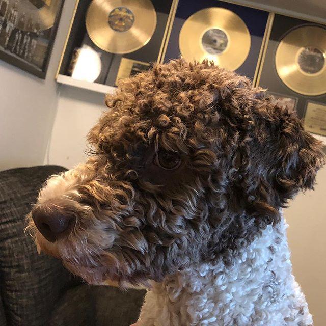 Daddy's golden boy! #maclagotto #lagottoromagnolo #lagotto #dogs #lagottos #lagottosofinstagram #lagottopuppy #lagottolove #lagottostyle #lagottodogs #lagottoromagnolos #dpotd  #lagottoboy #svärdsjö #dalarna #sweden #dog #dogmodel #dogmodels #dogsofinstagram #dogsofinsta  #doglovers #daddysdog #dogstagram #pappajagvillhaenitalienare @knappare @liminglindblad @k.rowntree @taxen_coco posted by dad: @kristerlindholmfalun