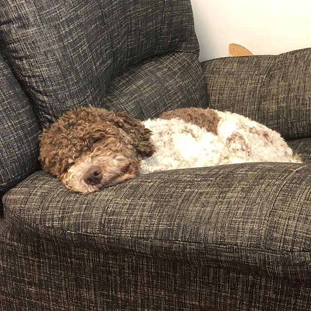 I pretend to sleep next to dad while he is working. I'm so ready for an adventure. Any minute! #maclagotto #lagottoromagnolo #lagotto #dogs #lagottos #lagottosofinstagram #lagottopuppy #lagottolove #lagottostyle #lagottodogs #lagottoromagnolos #dpotd  #lagottoboy #svärdsjö #dalarna #sweden #dog #dogmodel #dogmodels #dogsofinstagram #dogsofinsta  #doglovers #daddysdog #dogstagram #pappajagvillhaenitalienare @knappare @liminglindblad @k.rowntree @taxen_coco posted by dad: @kristerlindholmfalun
