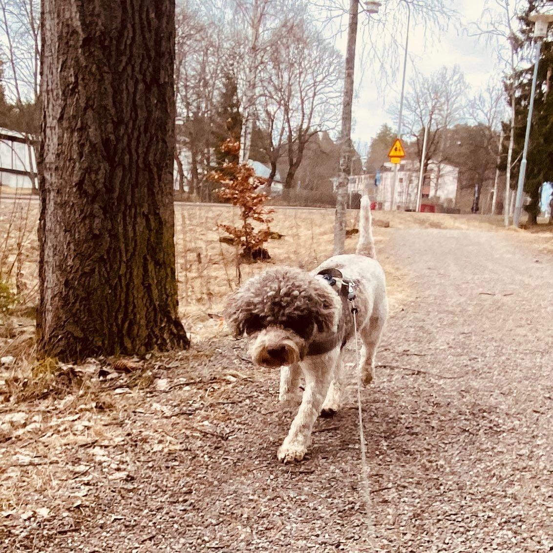 Ok. This is my road. It's mine. #lagottosofinstagram #lagottopuppy #italianwaterdog #truffledog  #lagottoromagnolo_daily #happydoglife #Lagotto #Dogs #DogsOfInstagram #Petstagram #Pets #Dogstagram #MyLife #MyDailyLife #PappaJagVillHaEnItalienare  #MacLagotto #Falun #Sweden @knappare @liminglindblad @k.rowntree @taxen_coco @h3lvetesjavlar This was posted by my Dad: @kristerlindholmfalun