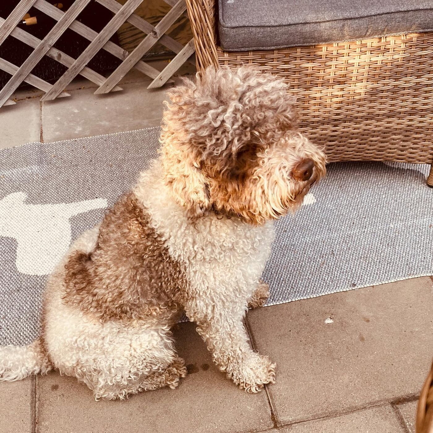 Oh boy I need that haircut now! #lagottosofinstagram #lagottopuppy #italianwaterdog #truffledog #lagottoromagnolo_daily #happydoglife #Lagotto #Dogs #DogsOfInstagram #Petstagram #Pets #Dogstagram #MyLife #MyDailyLife #PappaJagVillHaEnItalienare #MacLagotto #Falun #Sweden #FF #l4l #instafollow @knappare @liminglindblad @k.rowntree @taxen_coco @h3lvetesjavlar This was posted by my Dad: @kristerlindholmfalun