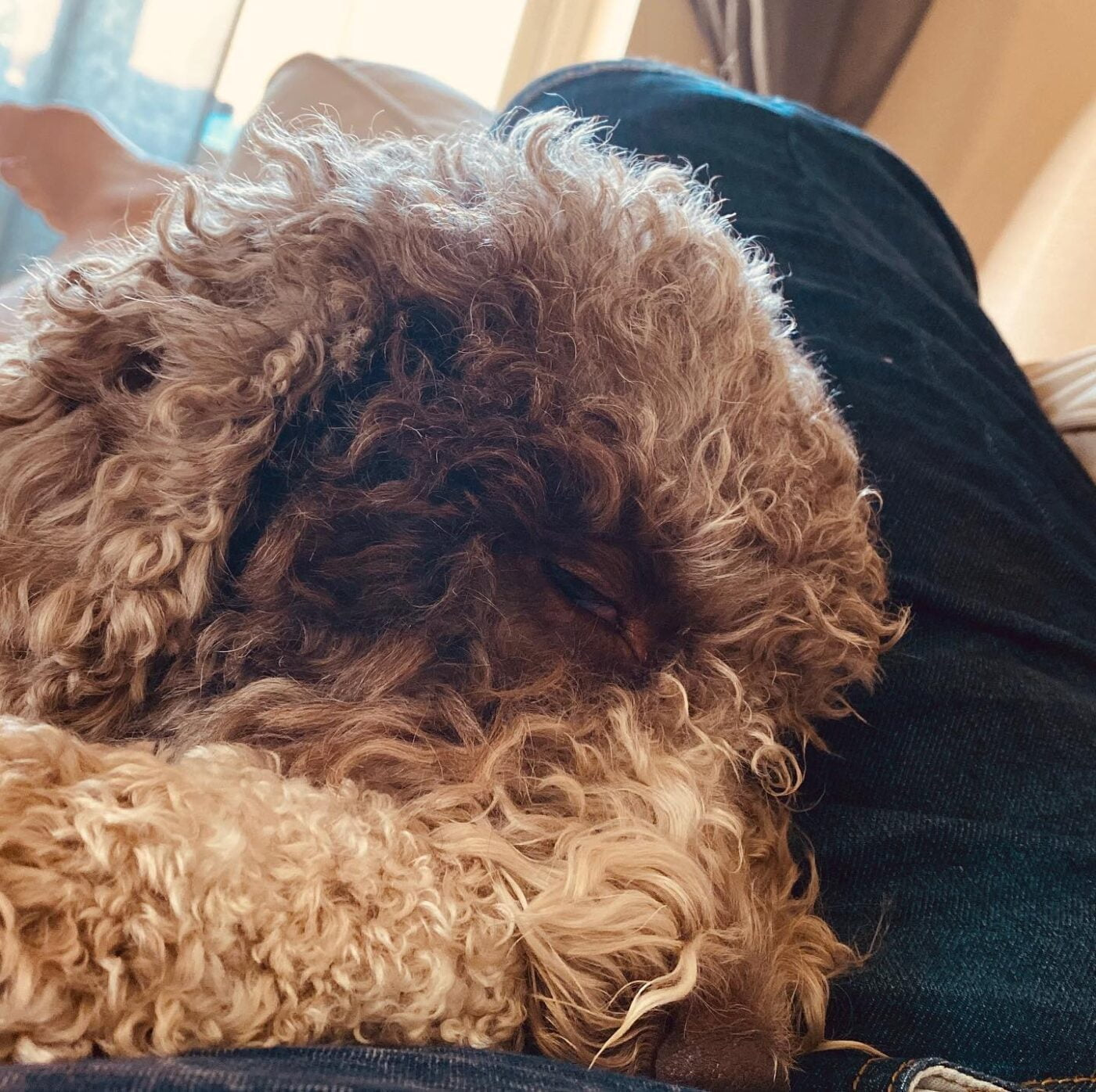 I fell asleep on Dad. Just like that. #lagottosofinstagram #lagottopuppy #italianwaterdog #truffledog #lagottoromagnolo_daily #happydoglife #Lagotto #Dogs #DogsOfInstagram #Petstagram #Pets #Dogstagram #MyLife #MyDailyLife #PappaJagVillHaEnItalienare #MacLagotto #Falun #Sweden #FF #l4l #instafollow @knappare @liminglindblad @k.rowntree @taxen_coco @h3lvetesjavlar This was posted by my Dad: @kristerlindholmfalun