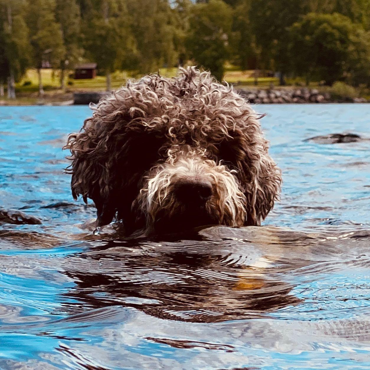 I know how to swim! #lagottosofinstagram #lagottopuppy #italianwaterdog #truffledog #lagottoromagnolo_daily #happydoglife #Lagotto #Dogs #DogsOfInstagram #Petstagram #Pets #Dogstagram #MyLife #MyDailyLife #PappaJagVillHaEnItalienare #MacLagotto #Falun #Sweden #FF #l4l #instafollow @knappare @liminglindblad @k.rowntree @taxen_coco @h3lvetesjavlar This was posted by my Dad: @kristerlindholmfalun