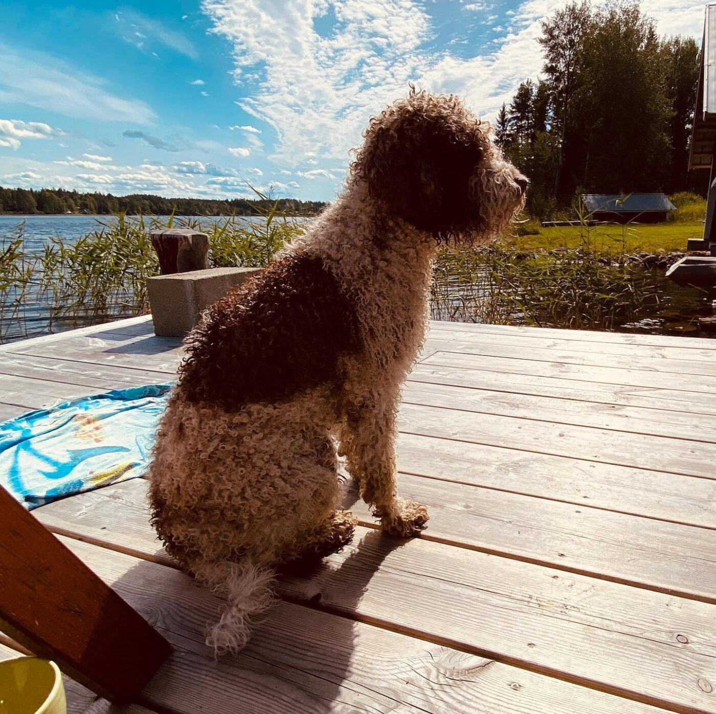 Another paradise dog in life. #lagottosofinstagram #lagottopuppy #italianwaterdog #truffledog #lagottoromagnolo_daily #happydoglife #Lagotto #Dogs #DogsOfInstagram #Petstagram #Pets #Dogstagram #MyLife #MyDailyLife #PappaJagVillHaEnItalienare #MacLagotto #Falun #Sweden #FF #l4l #instafollow @knappare @liminglindblad @k.rowntree @taxen_coco @h3lvetesjavlar This was posted by my Dad: @kristerlindholmfalun