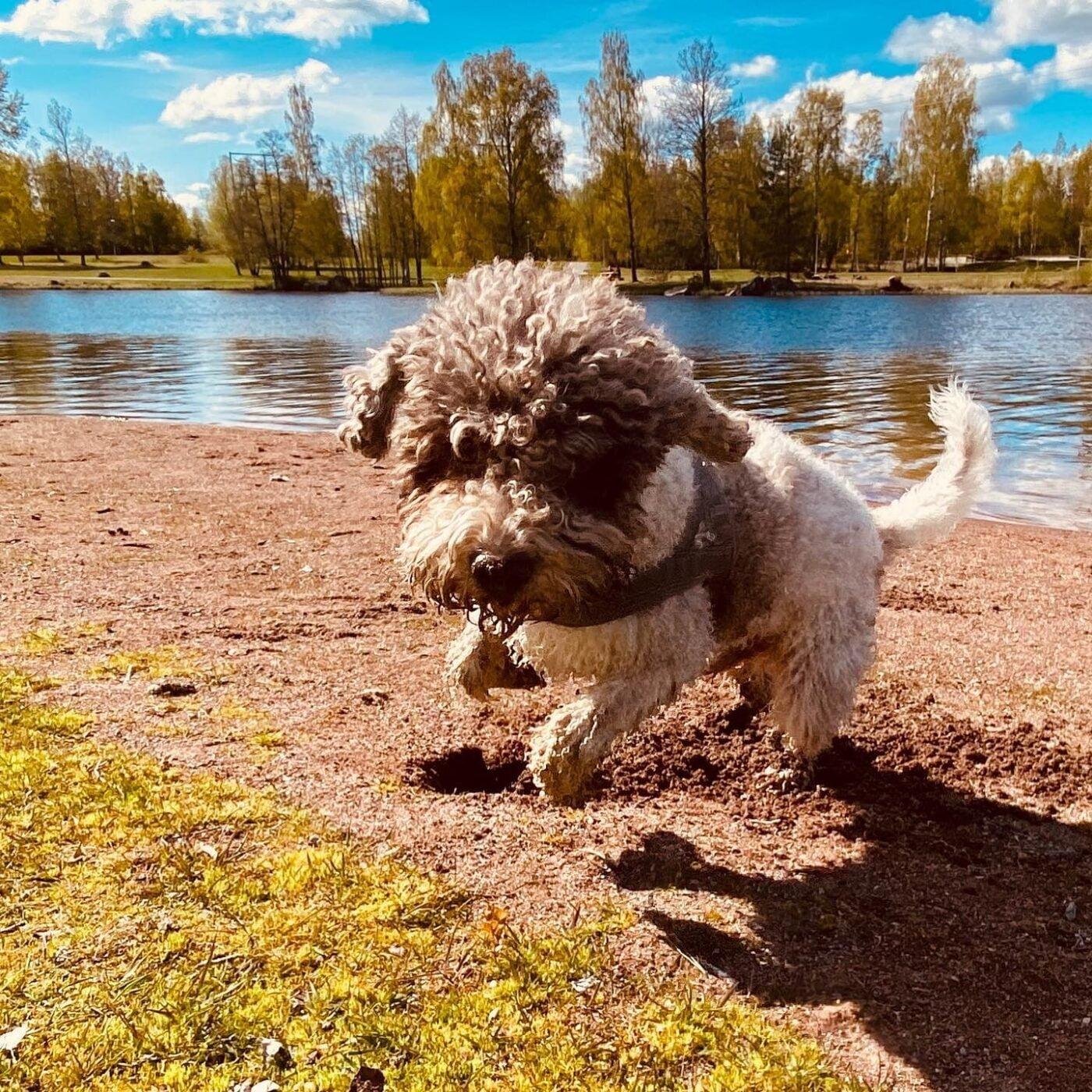 Attack! #lagottosofinstagram #lagottopuppy #italianwaterdog #truffledog #lagottoromagnolo_daily #happydoglife #Lagotto #Dogs #DogsOfInstagram #Petstagram #Pets #Dogstagram #MyLife #MyDailyLife #PappaJagVillHaEnItalienare #MacLagotto #Falun #Sweden #FF #l4l #instafollow @knappare @liminglindblad @k.rowntree @taxen_coco @h3lvetesjavlar This was posted by my Dad: @kristerlindholmfalun