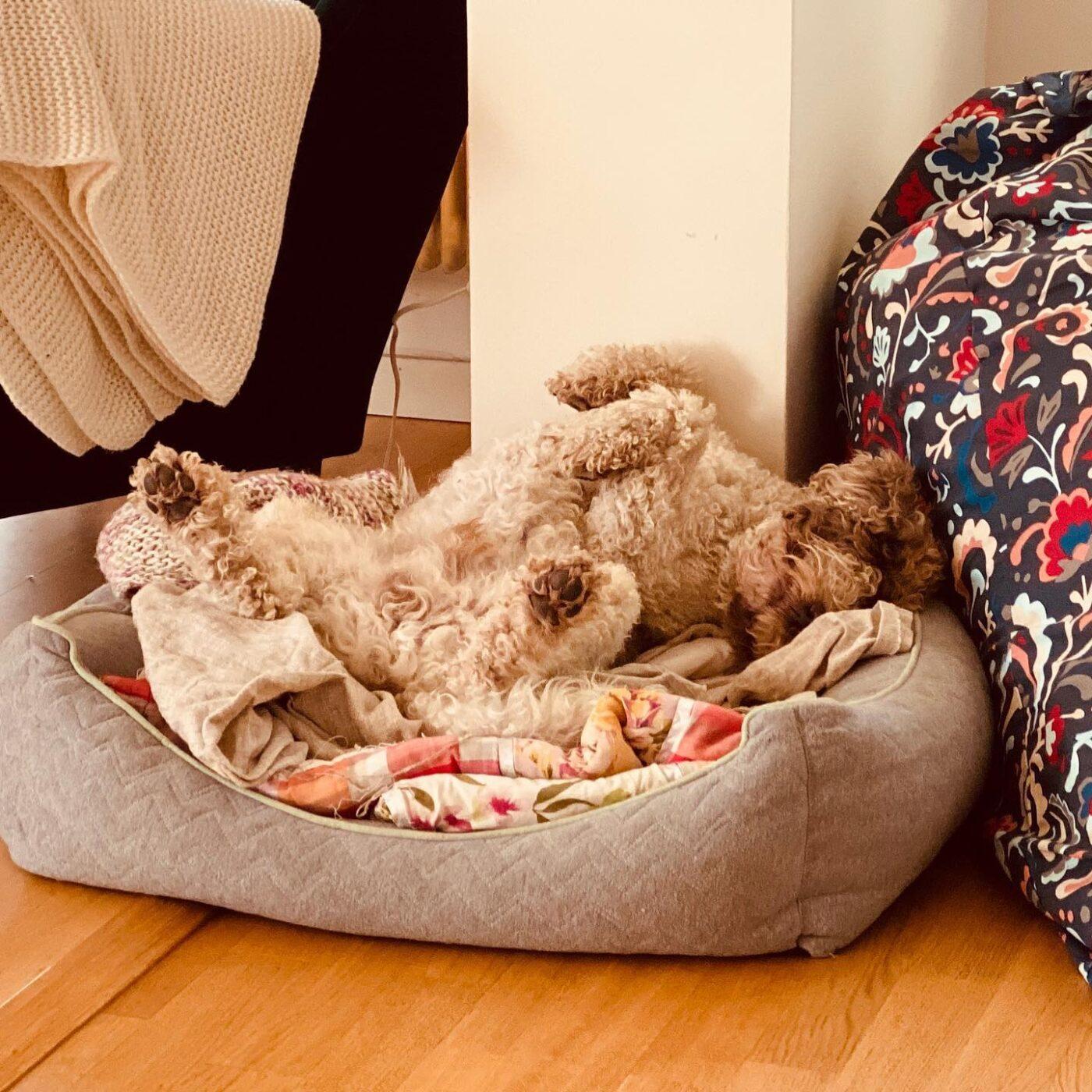 I'm one with the bed! #happydog #lagottoromagnolo