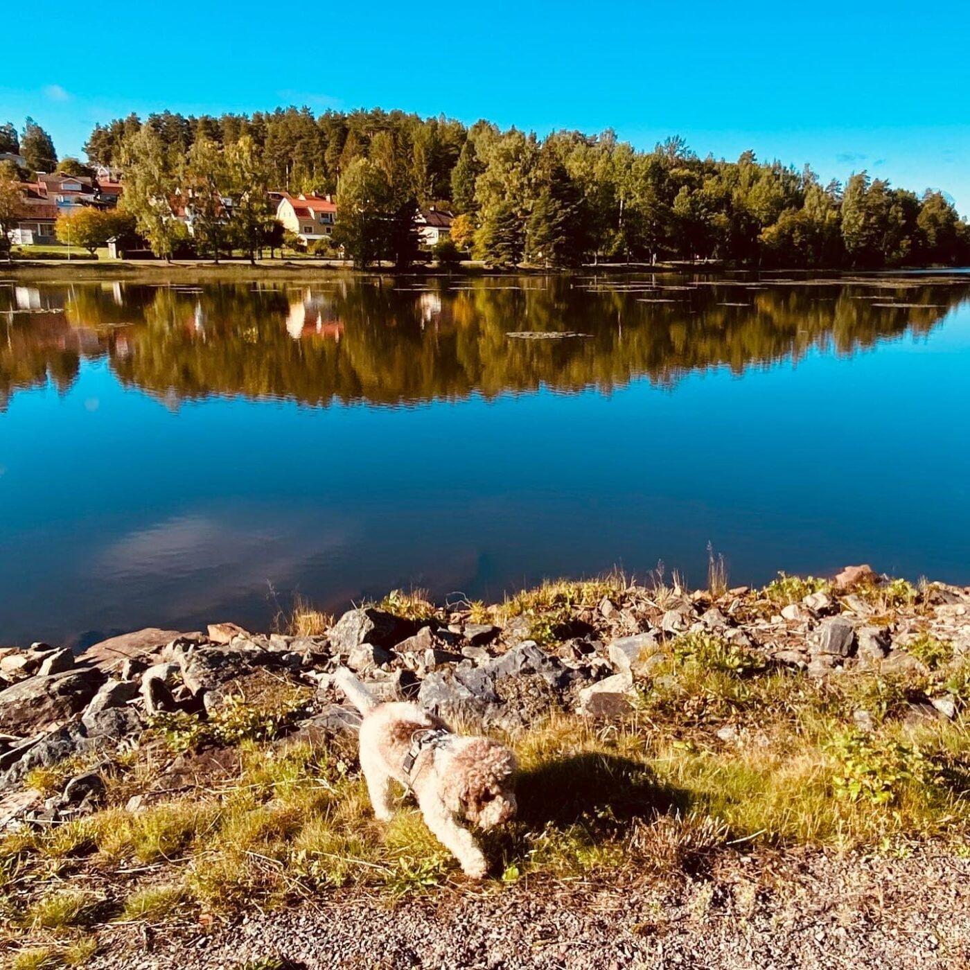 Today's morning walk in Falun. #lagottosofinstagram #lagottopuppy #italianwaterdog #truffledog #lagottoromagnolo_daily #happydoglife #Lagotto #Dogs #DogsOfInstagram #Petstagram #Pets #Dogstagram #MyLife #MyDailyLife #PappaJagVillHaEnItalienare #MacLagotto #Falun #Sweden #FF #l4l #instafollow @knappare @liminglindblad @k.rowntree @taxen_coco @h3lvetesjavlar This was posted by my Dad: @kristerlindholmfalun