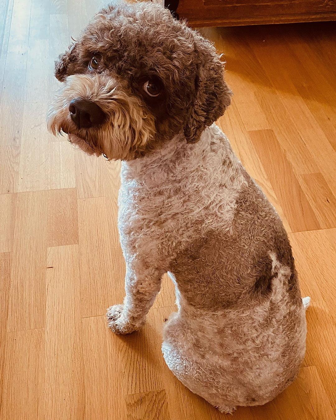 Thanks @dalahundtrim for a nice haircut!#lagottosofinstagram #lagottopuppy #italianwaterdog #truffledog  #lagottoromagnolo_daily #happydoglife #Lagotto #Dogs #DogsOfInstagram #Petstagram #Pets #Dogstagram #MyLife #MyDailyLife #PappaJagVillHaEnItalienare  #MacLagotto #Falun #Sweden #FF #l4l #instafollow @knappare @liminglindblad @k.rowntree @taxen_coco @h3lvetesjavlar This was posted by my Dad: @kristerlindholmfalun
