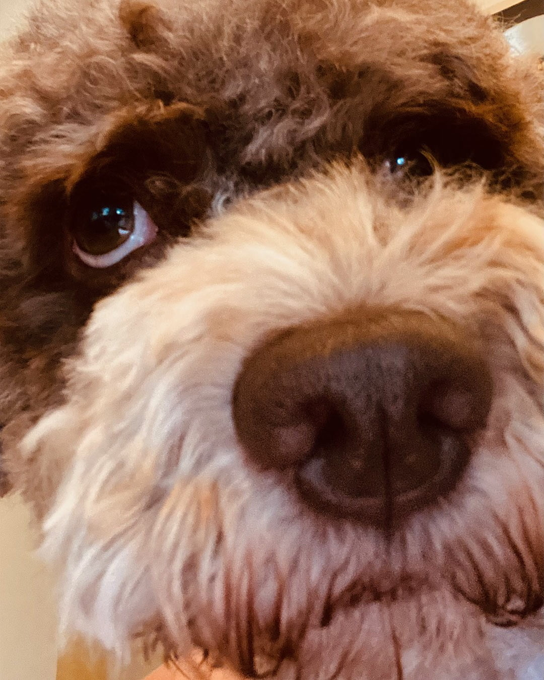This is a close up of me. Look how fantastic i am.#lagottosofinstagram #lagottopuppy #italianwaterdog #truffledog  #lagottoromagnolo_daily #happydoglife #Lagotto #Dogs #DogsOfInstagram #Petstagram #Pets #Dogstagram #MyLife #MyDailyLife #PappaJagVillHaEnItalienare  #MacLagotto #Falun #Sweden #FF #l4l #instafollow @knappare @liminglindblad @k.rowntree @taxen_coco @h3lvetesjavlar This was posted by my Dad: @kristerlindholmfalun